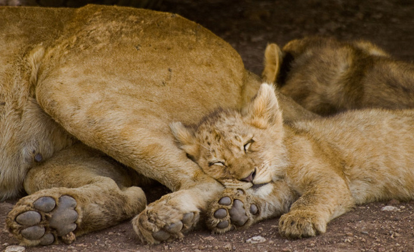 Lion cub sleeping next to adult lion
