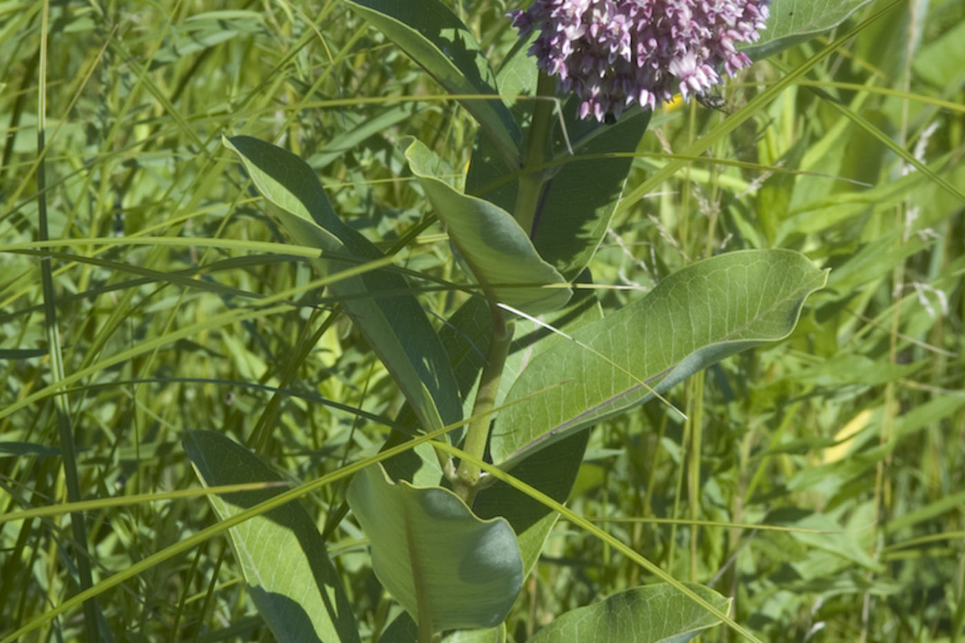 Tall plant stalk with large leaves all the way up the stem and a cluster of small pink flowers at the top