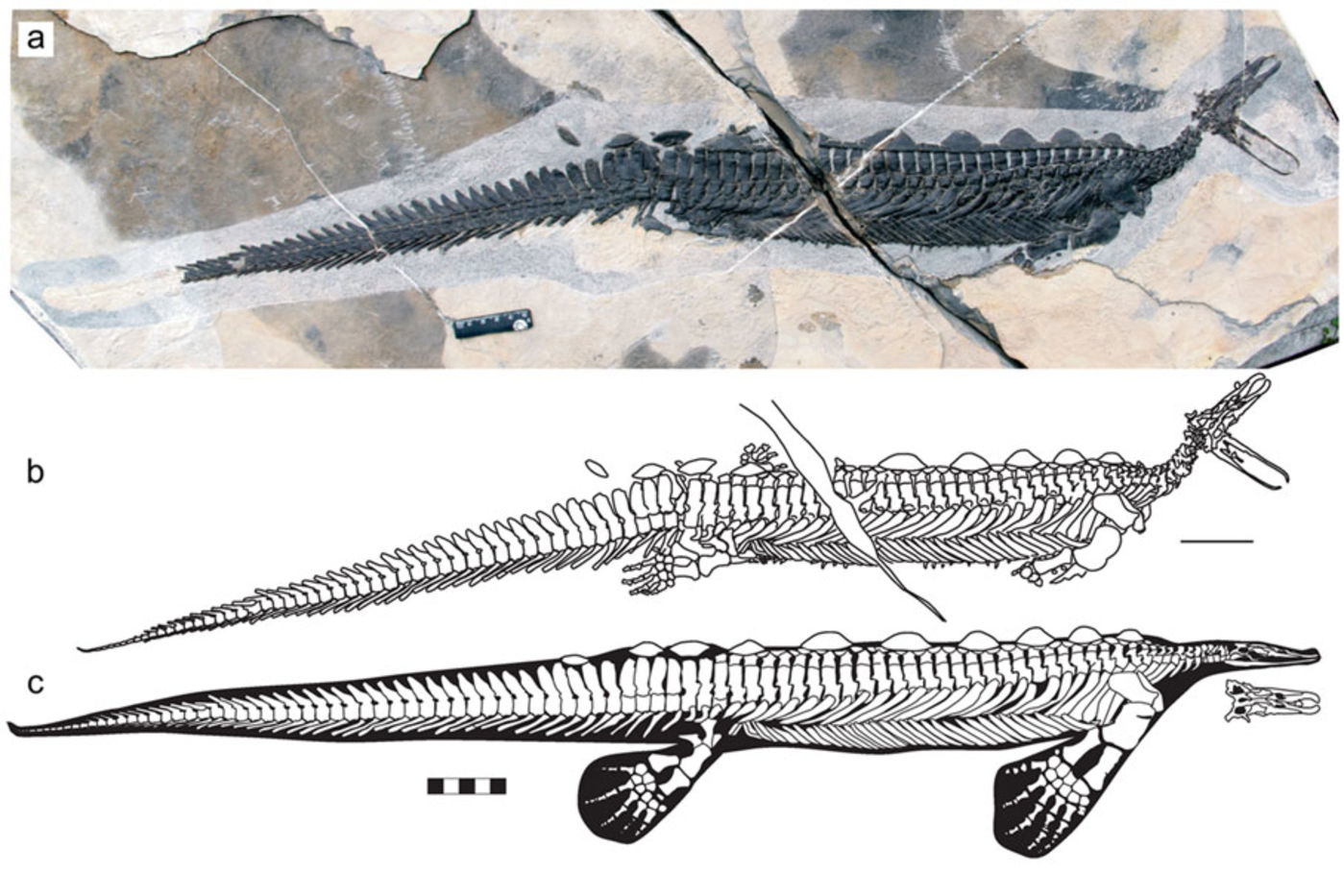 A dark gray crocodile-like skeleton in lighter gray and cream-colored rock. It has a tail and a large bill that's open. Below the photograph, an illustration of the skeleton shows what the animal's body shape might've looked like.