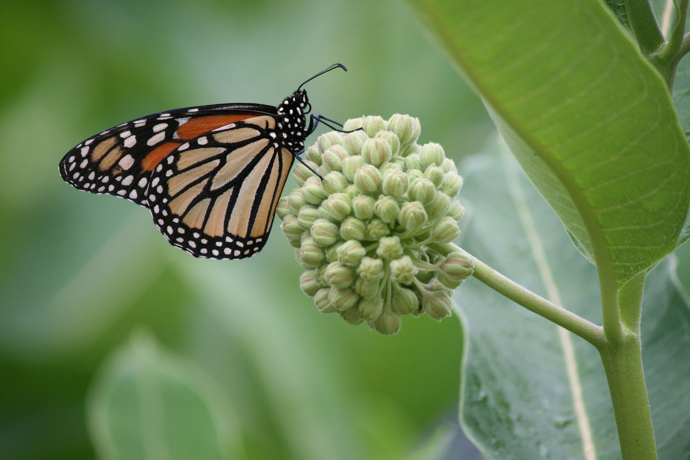 An orange, black, and white monarch butterfly perches on a round bunch of unopened milkweed flowers.
