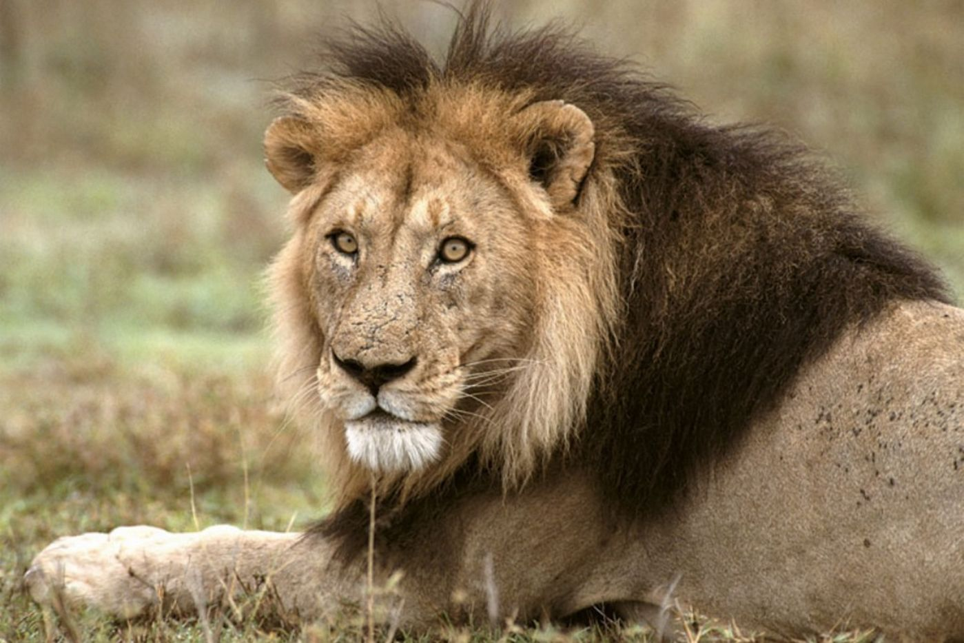 Sitting lion with a large mane.