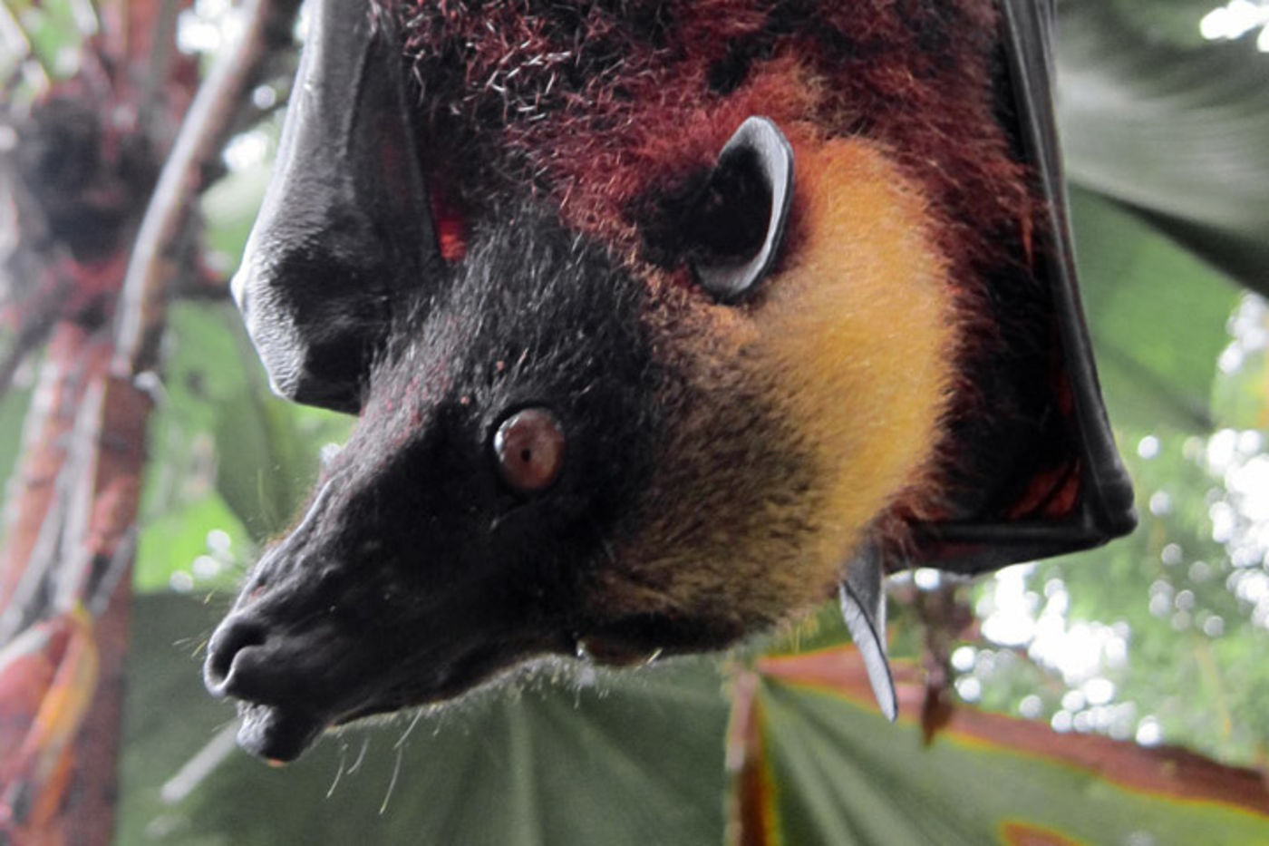 A bat with a black snout, yellow head, and reddish body hangs upside down. Green leaves are seen in the background.