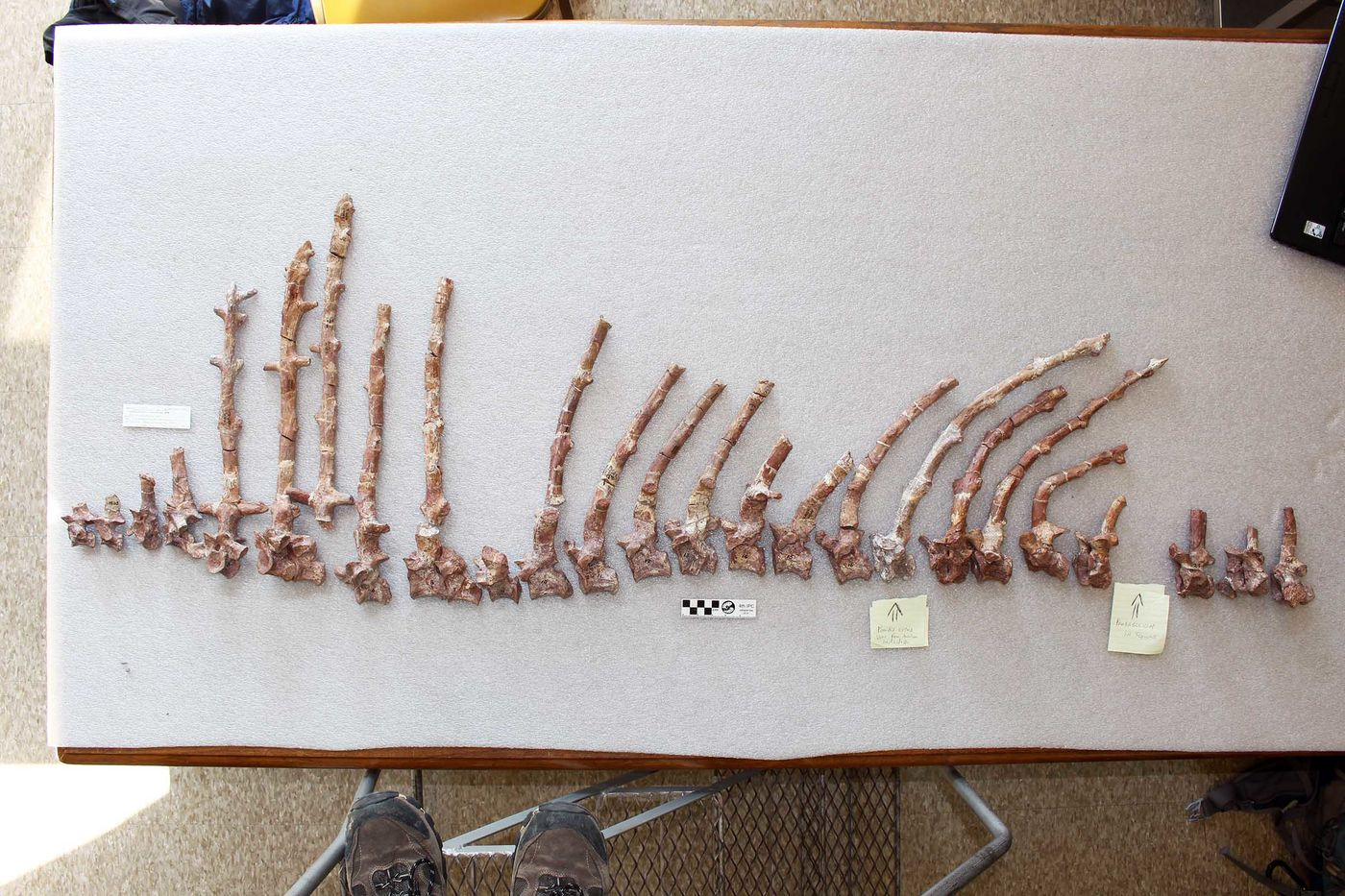 Row of bones laid out on foam on top of a table. The bones are pinkish and grayish in color, and range in length, generally tall near the left and smaller and more covered toward the right. Shoes are visible at the bottom of the photo, showing that the photographer is standing on a ladder to take the photo.