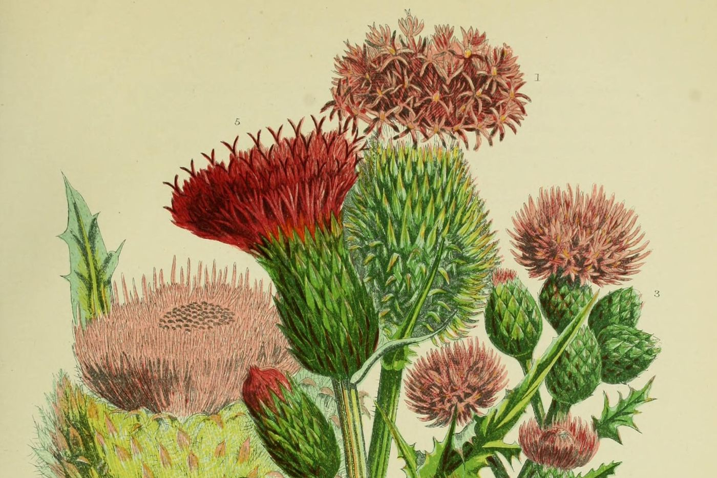 A botanical illustration of a bunch of thistles, some that are red, some a more subdued pink. Some of the stalks are covered in thorns and have green bulbs near the top.