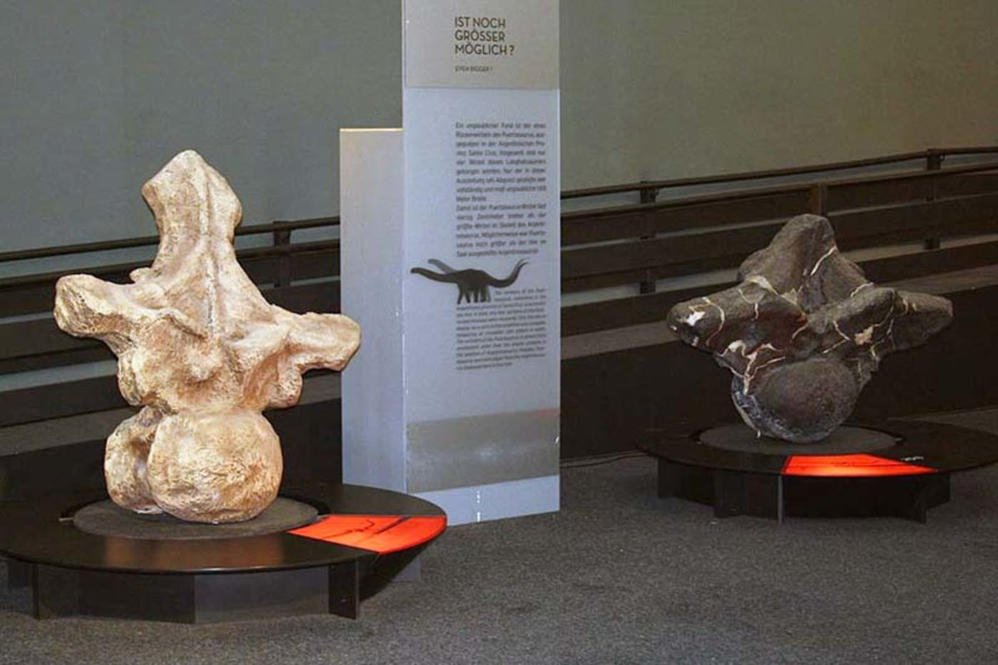 Two large dinosaur vertebrae side by side in a museum display. The one on the left is white in color and larger, and the smaller one on the right is a dark gray color.