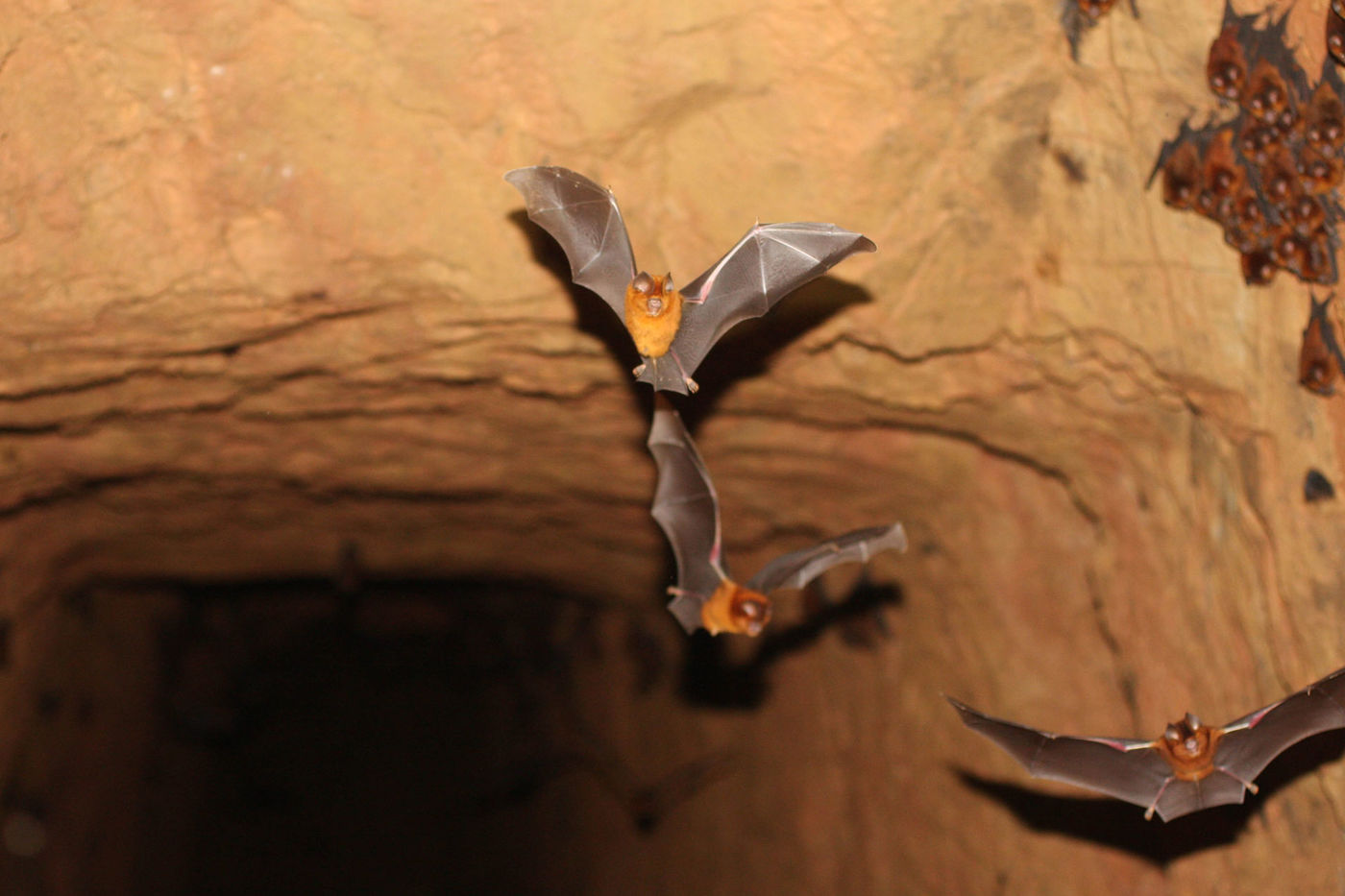Bats flying out of a cave.
