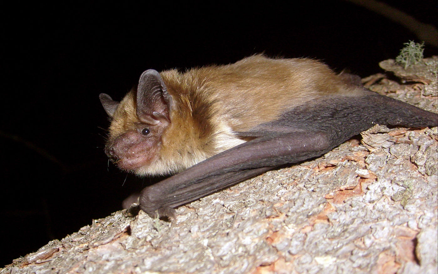 A brown bat with folded wings hooked onto tree bark