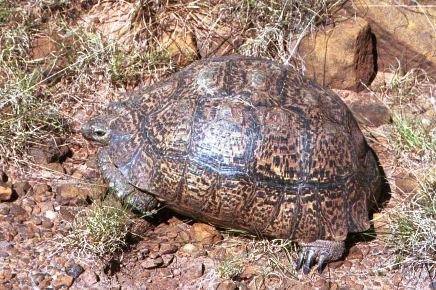 A large brown turtle with a tall shell sitting among brown rocks, dirt, and dried grass