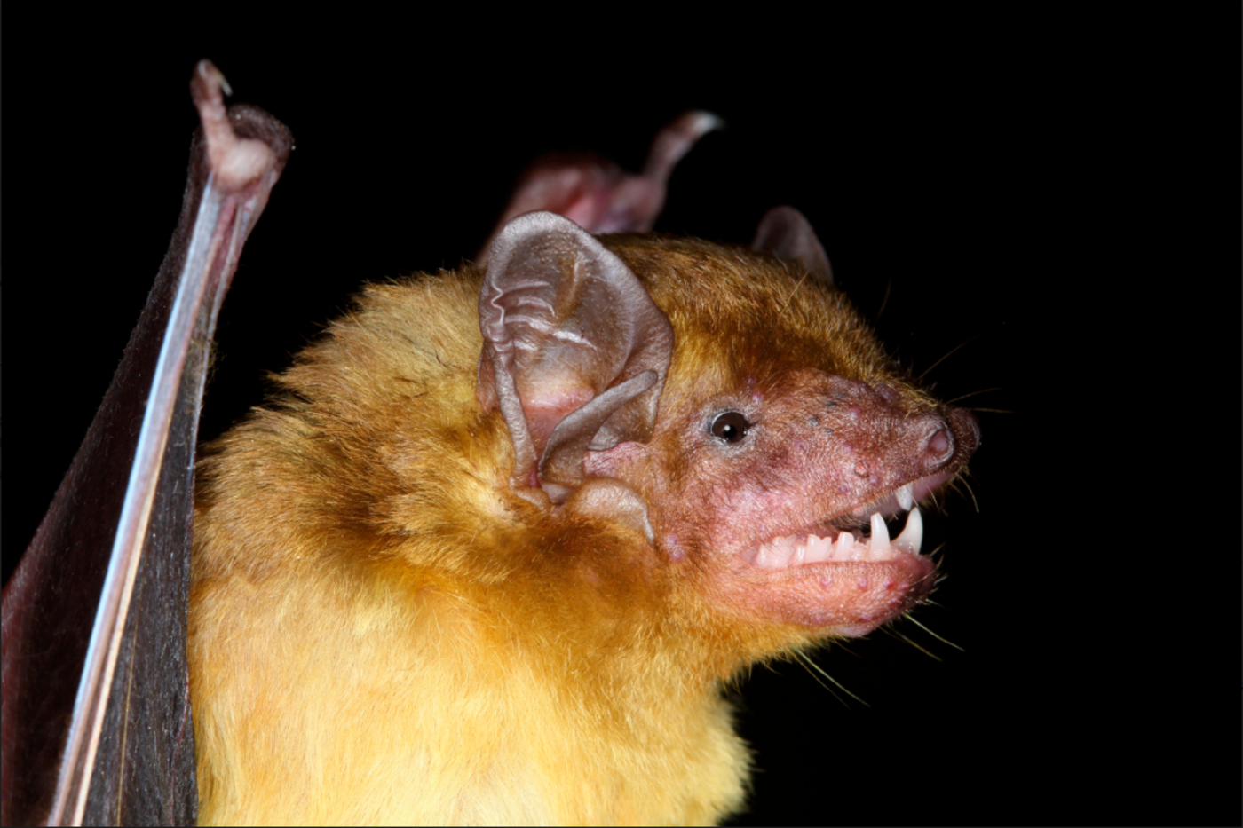 Close-up image of a bat.