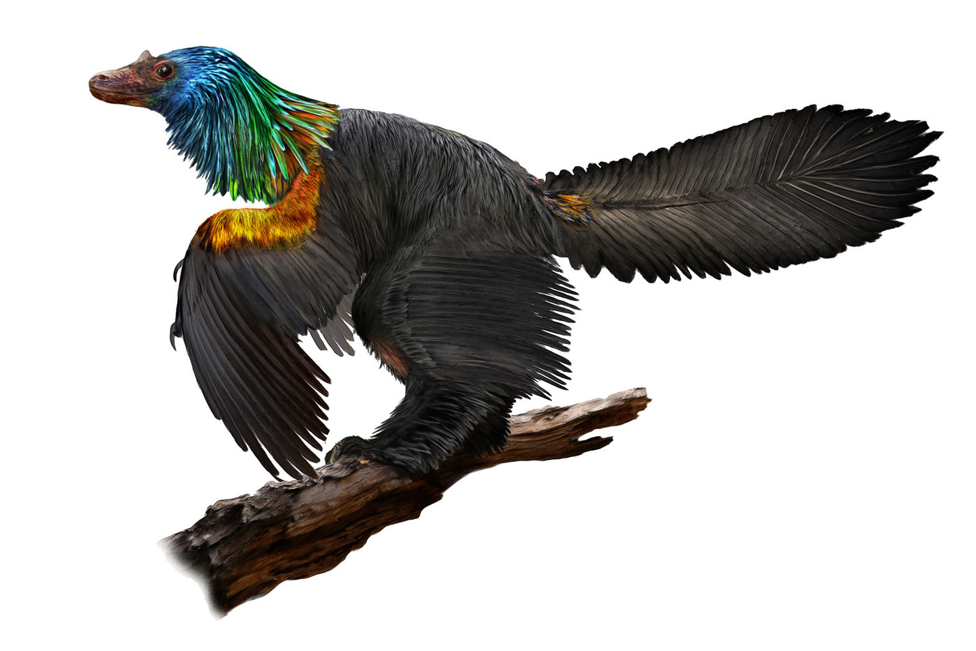 Illustration of a bird-like dinosaur perched on a branch. Its body is covered in feathers, mostly black, with bright orange and yellow feathers on the top of the wing, green on the neck, and blue on the head. Its long, feathered tail is raised.