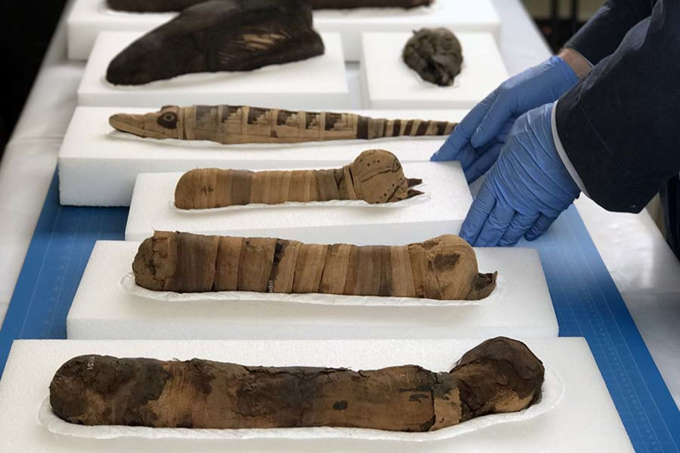 Several wrapped animal mummies resting on white foam on a table. Hands in blue gloves pick up one of the foam blocks.