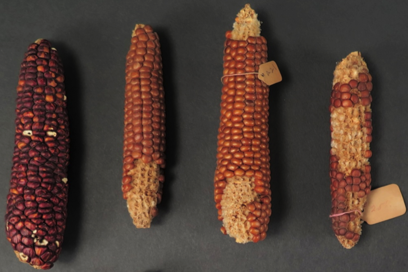 Four dried corn cobs that are shades of purple, orange, and brown