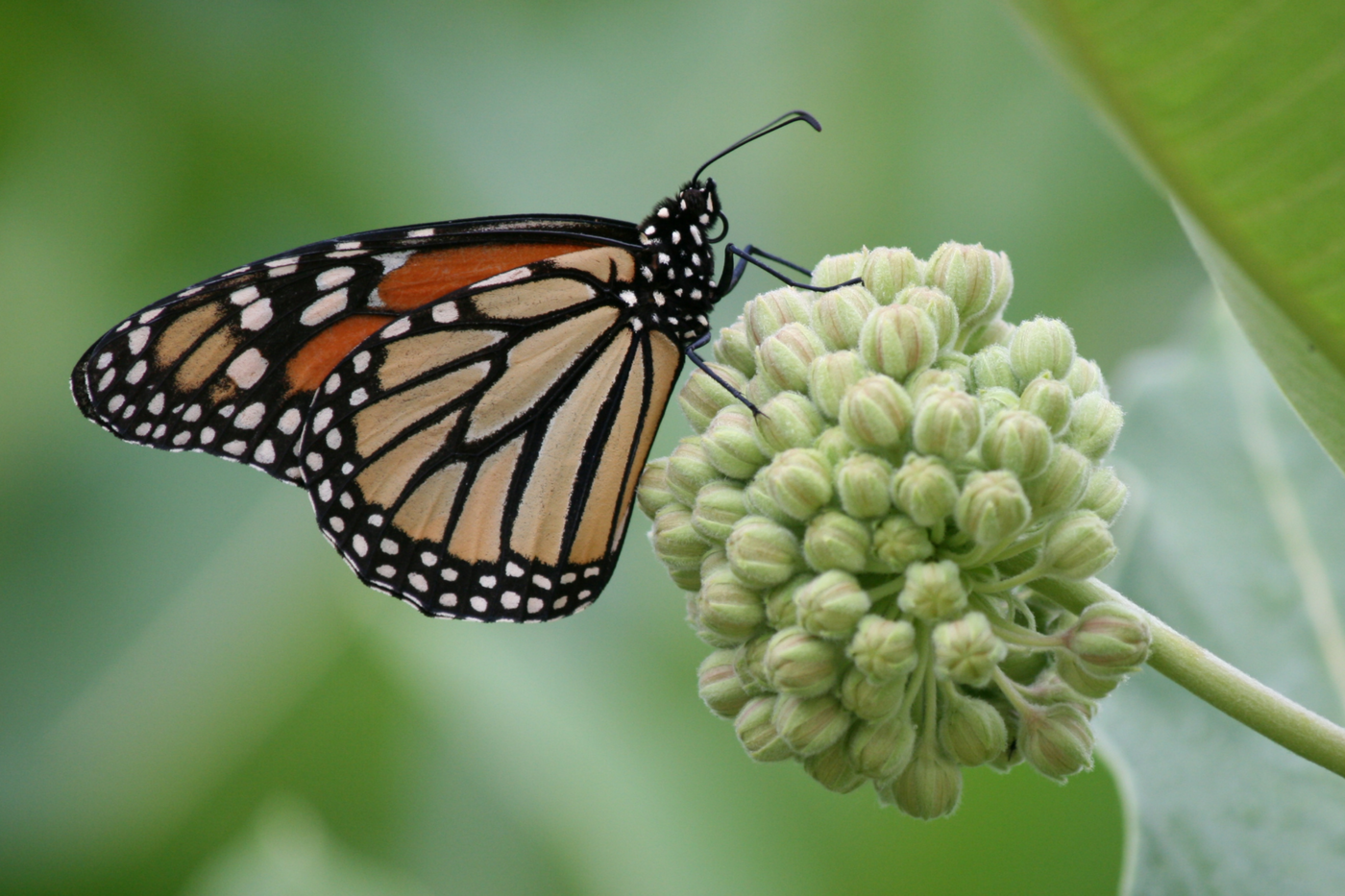 Close-up of an orange and black butterfly perched on a group of small, unopened flowers