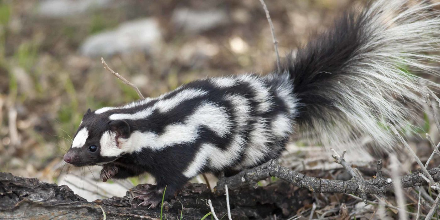 A skunk with a white zigzag pattern walking on a log
