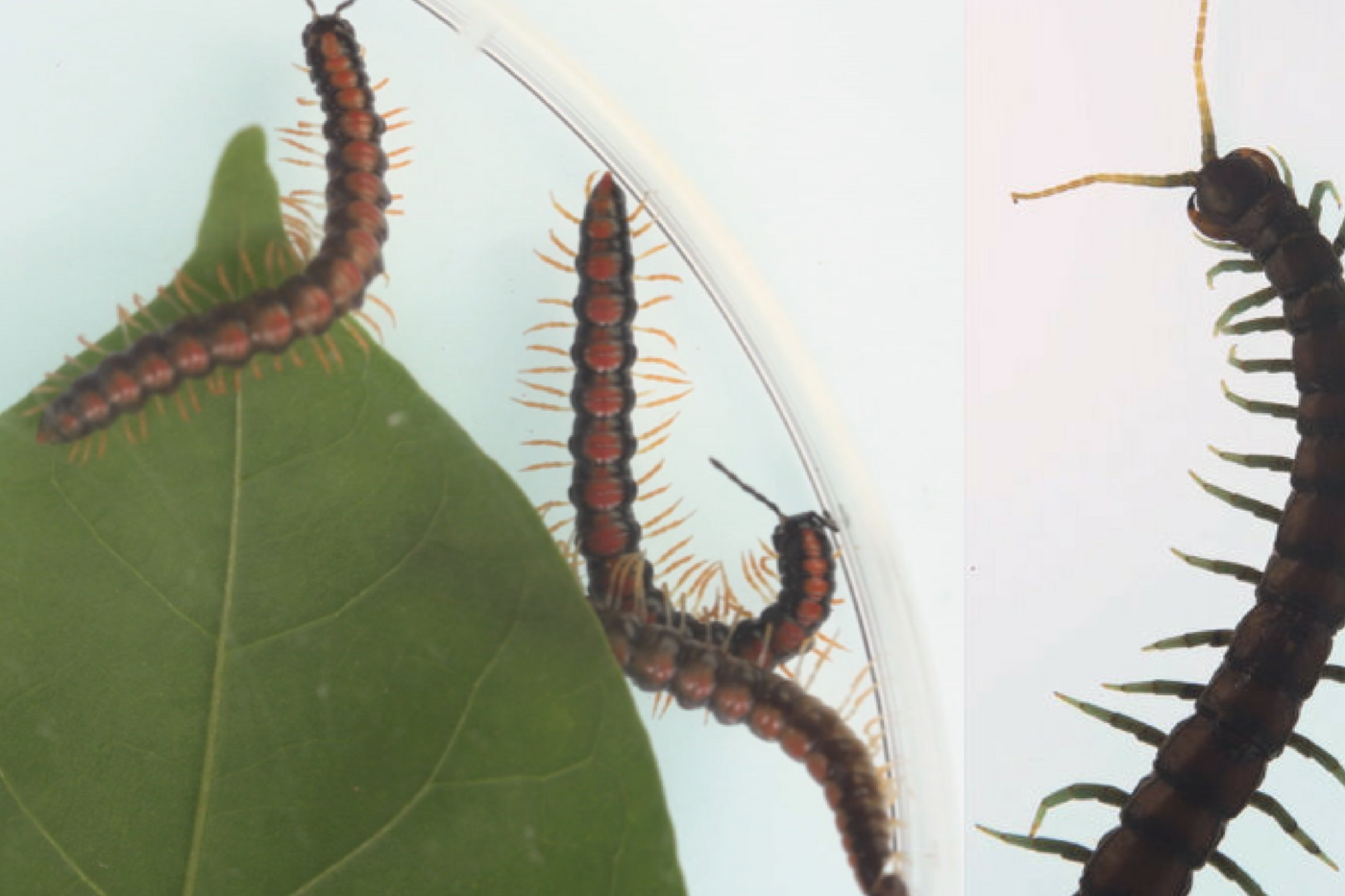 Two photos: one of long reddish black insects with many orange legs. The other of a bigger black insect with pointed green legs.