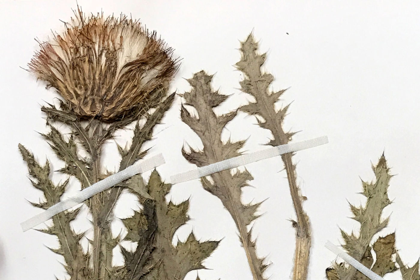 Dried prairie thistle plant specimen attached to paper.
