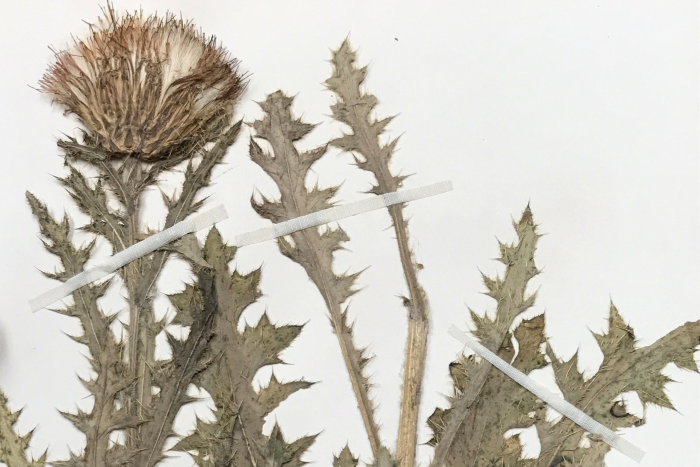 Dried plant specimen attached to paper, and a handwritten specimen label identifying the plant