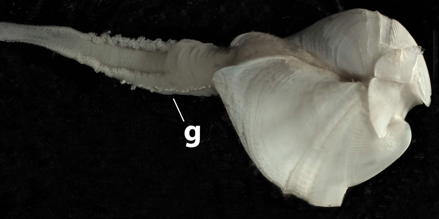 Close-up of a white clam with a long arm protruding from its shell, on a black background