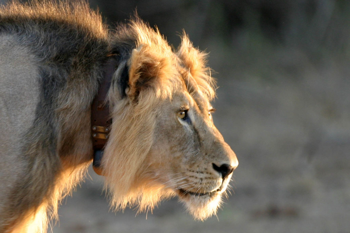 Close-up of a lion with a mane and a leather and metal collar around its neck