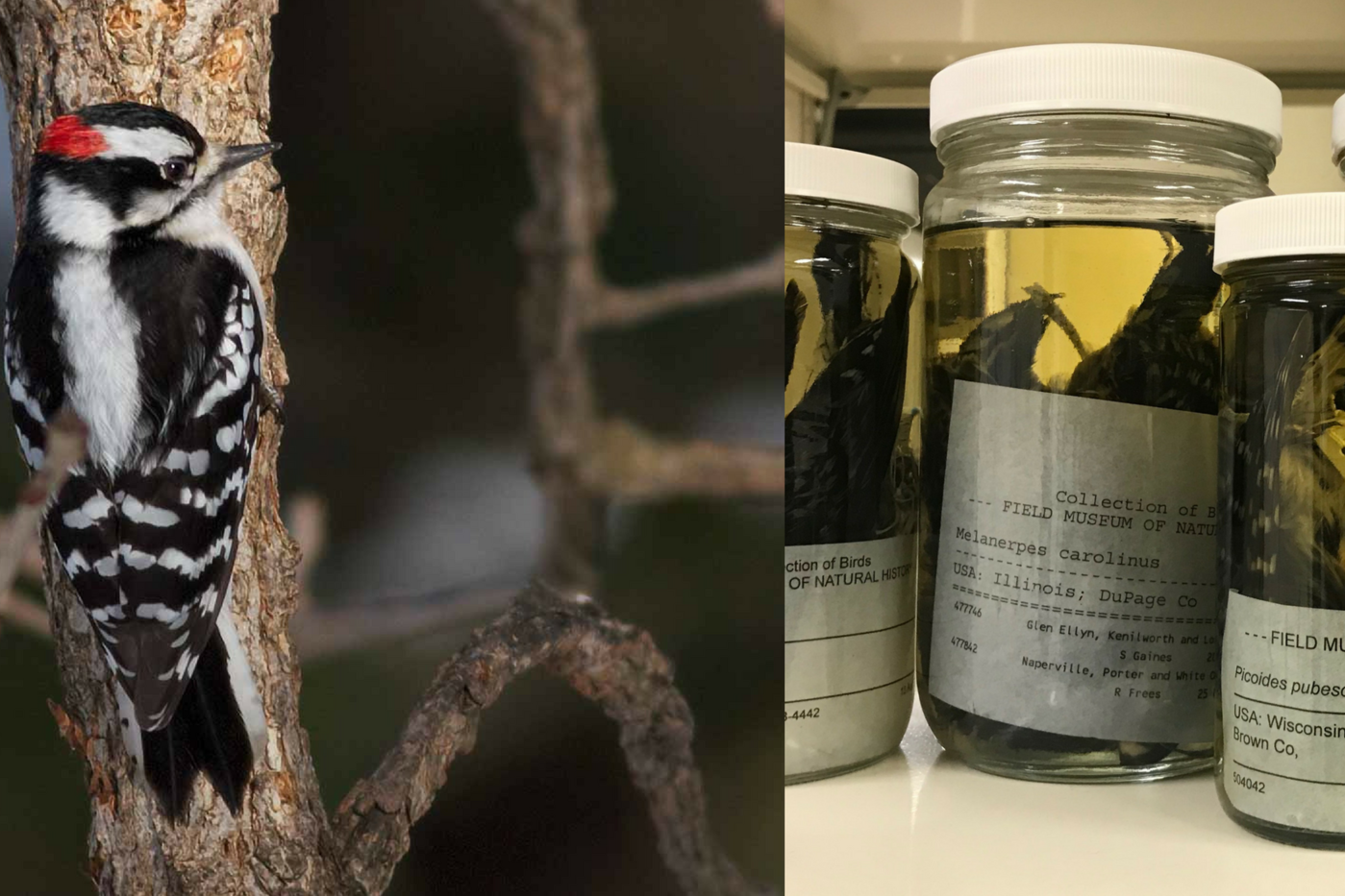 Two photos, one of a black and white bird with a red head on a tree; one of a row of jars of museum specimens