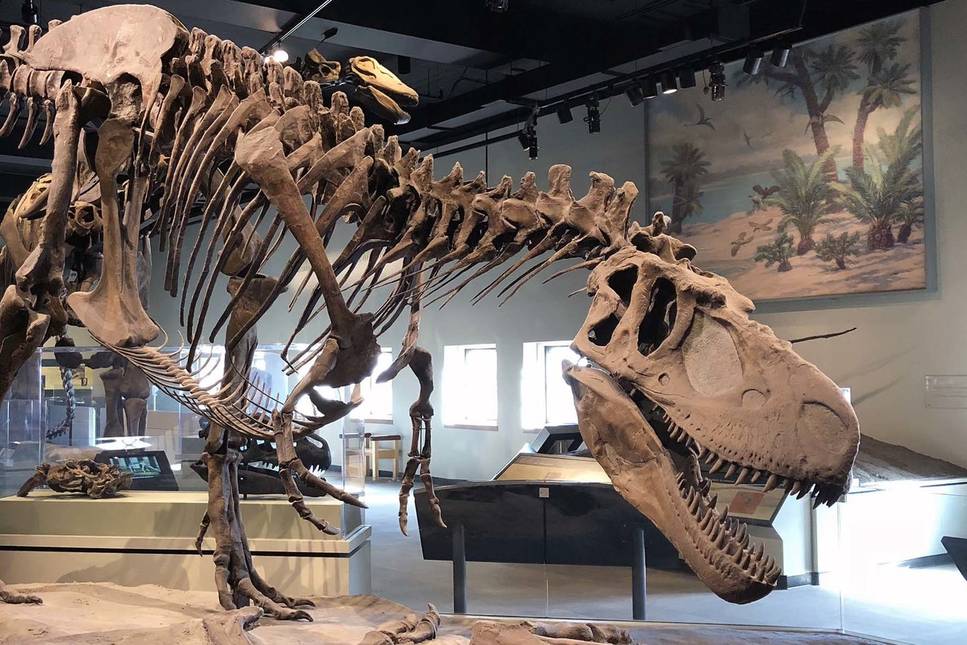 A large dinosaur skeleton standing on a brown surface and leaning forward menacingly, in a museum gallery