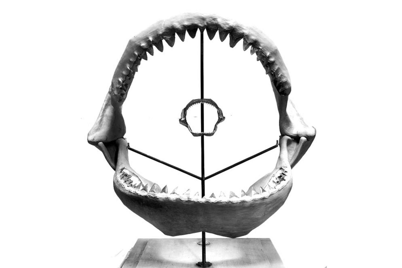 A very large jaw of the extinct shark megalodon, with a modern shark jaw suspended in the middle.