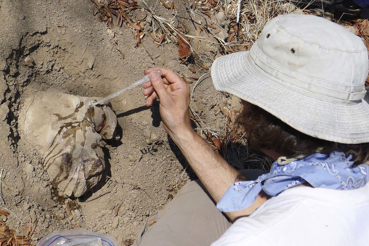 Looking down on a man holding a pipette and applying a liquid to a fossil dicynodont skull that is still partially buried in the ground.