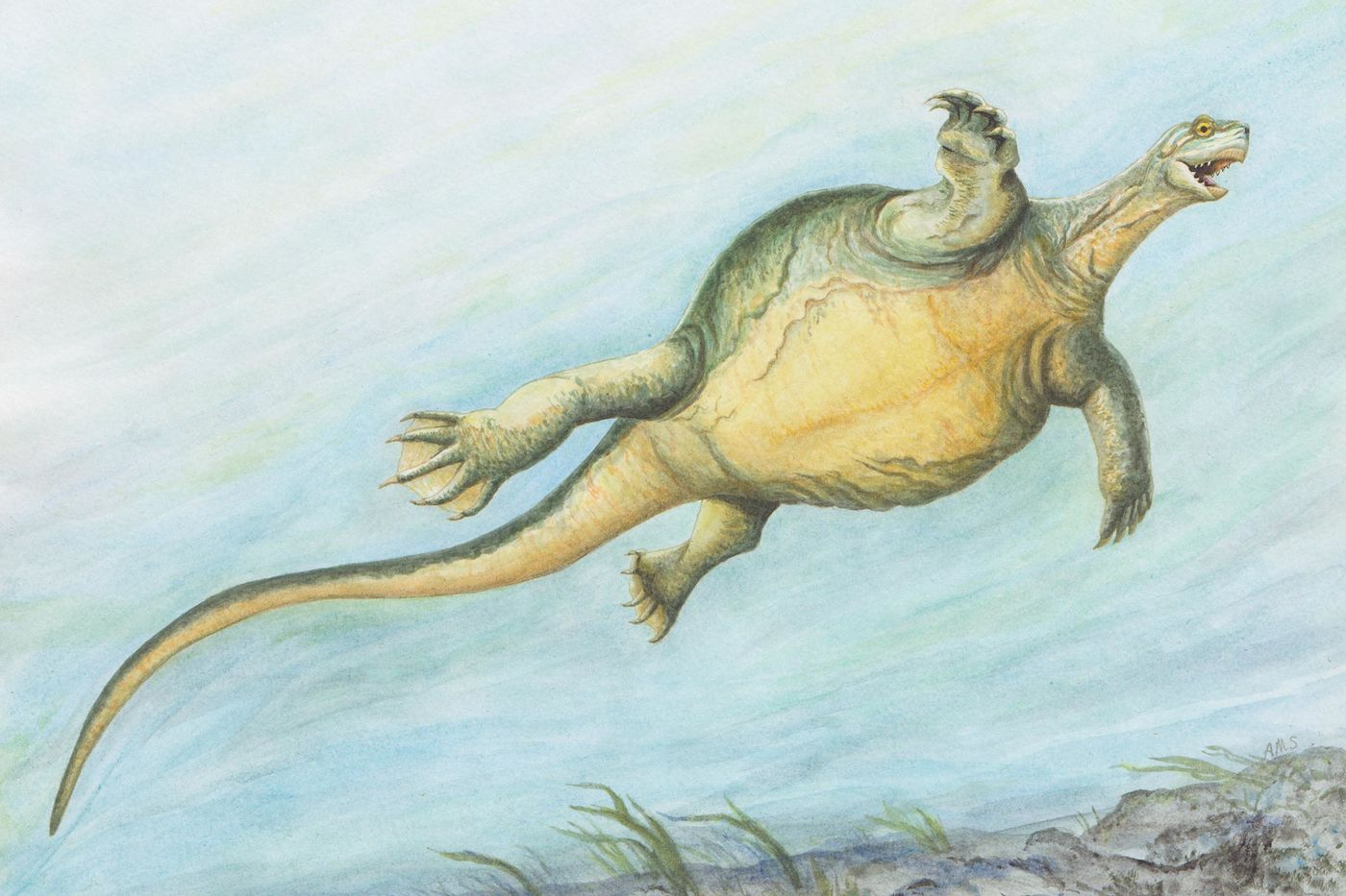 Illustration of a large, shell-less turtle with a rounded body and long tail, swimming underwater. The sea floor appears rocky, with some grasses.
