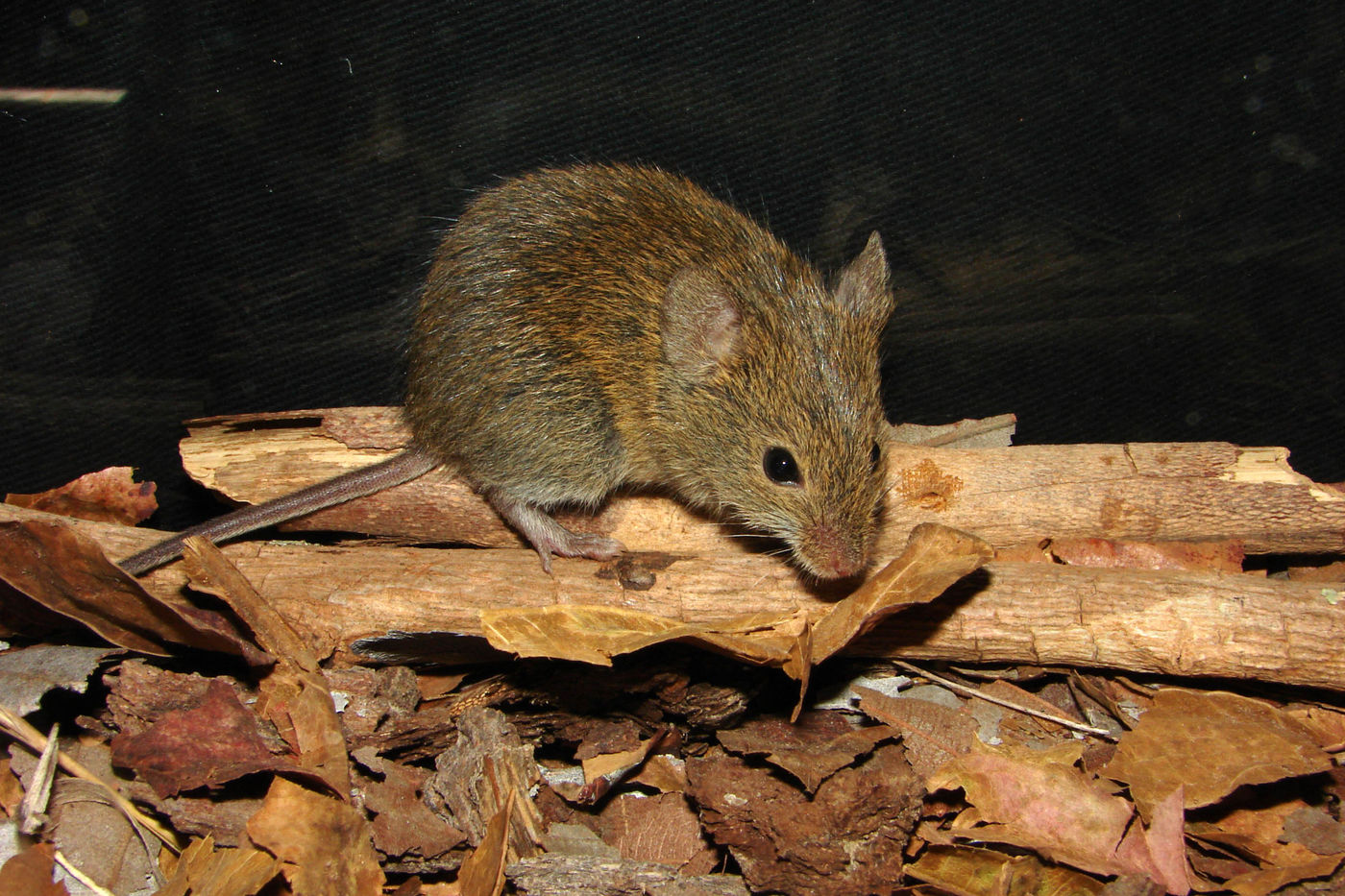 A mouse perched on sticks surrounded by dried brown leaves.
