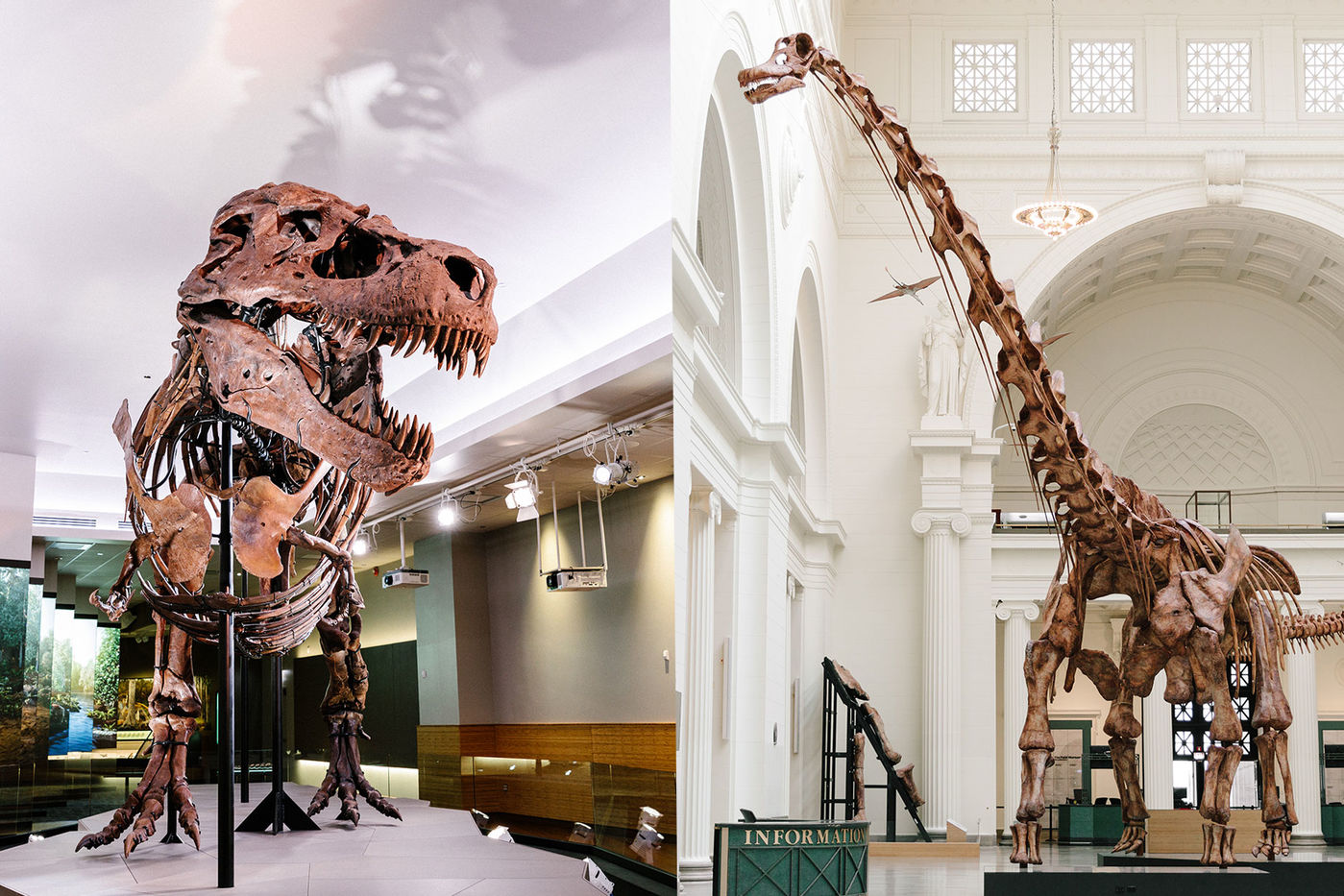 Left: A mounted T. rex skeleton inside a museum gallery. Right: A long-necked titanosaur skeleton in a large classical hall.
