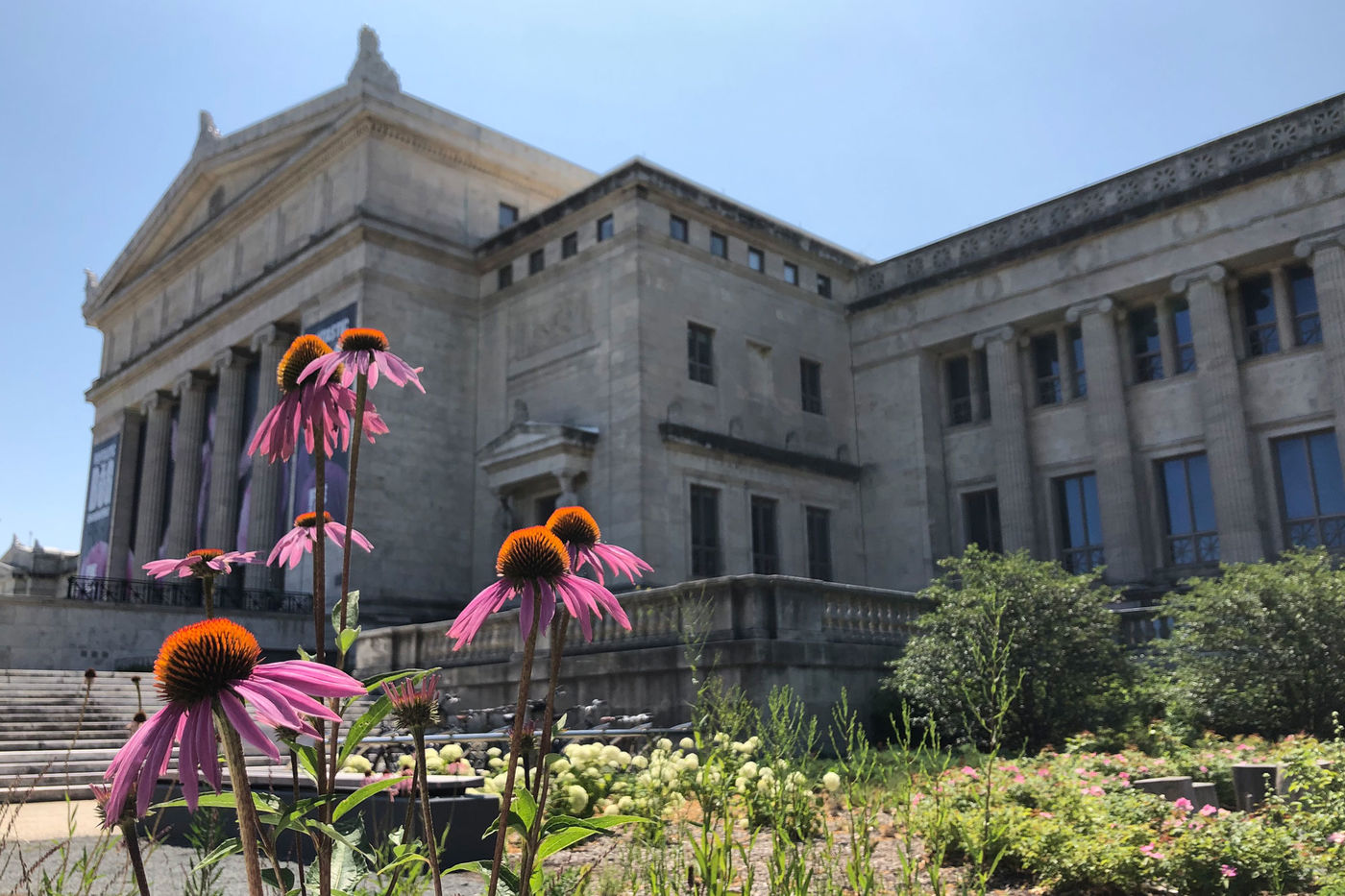 Pink coneflowers in front of the Field Museum's north entrance on a sunny day with clear blue skies.