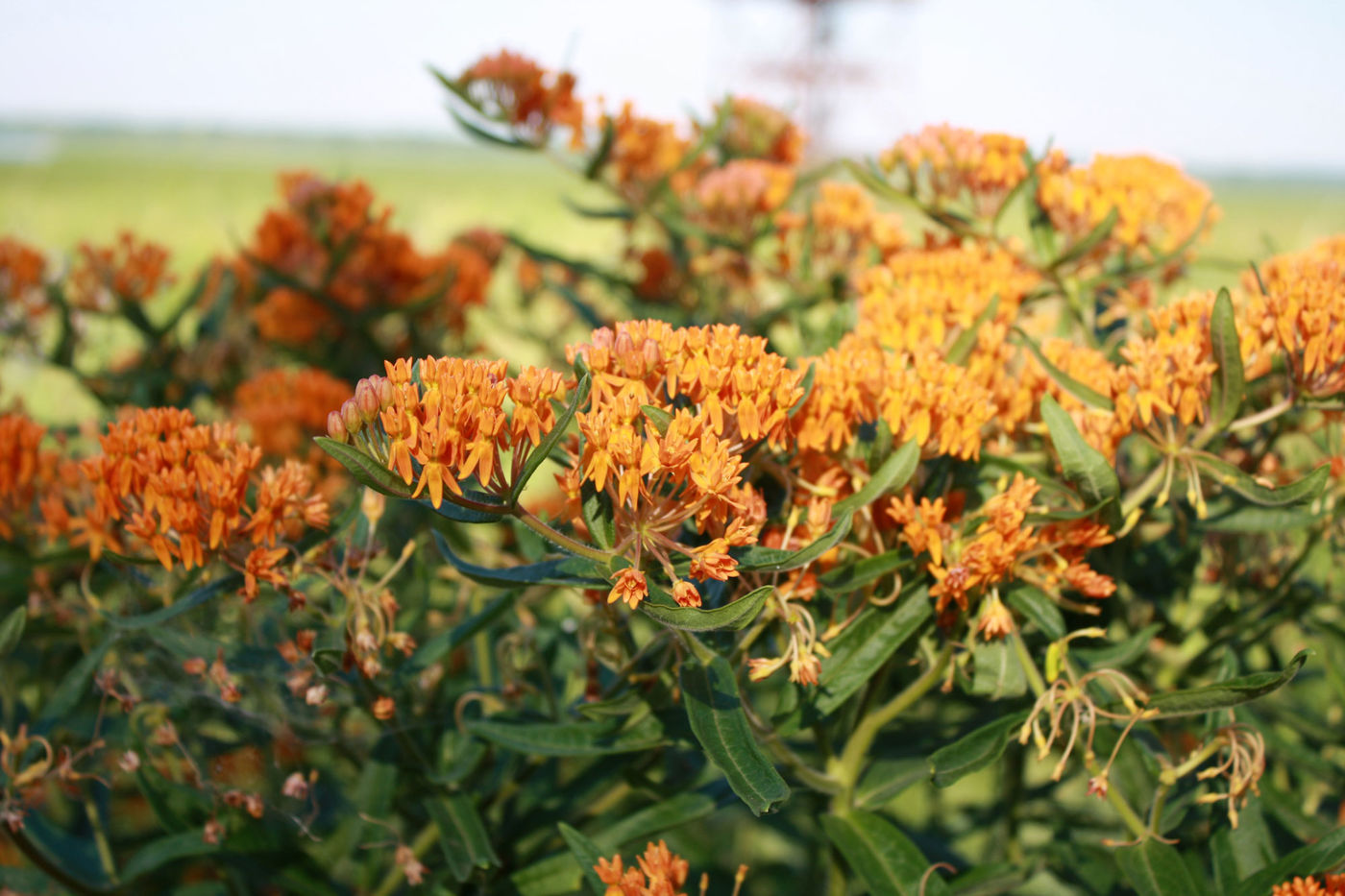 An eye-level view of many small orange flowers on top of plants with thin, dark green leaves