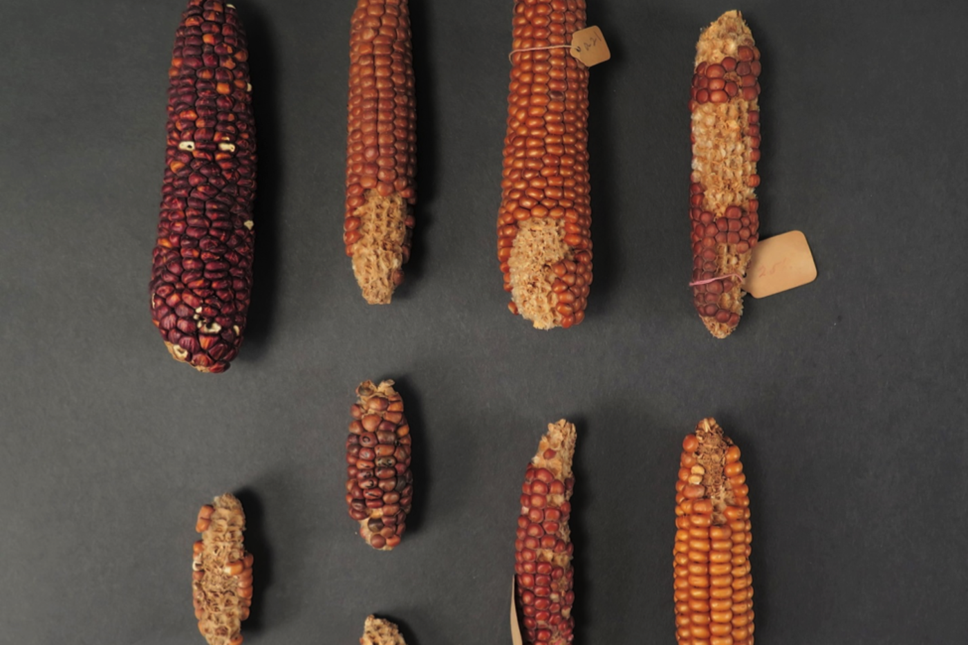 Two rows of dried corn cobs of different sizes and colors, including yellow, orange, brown, and purple