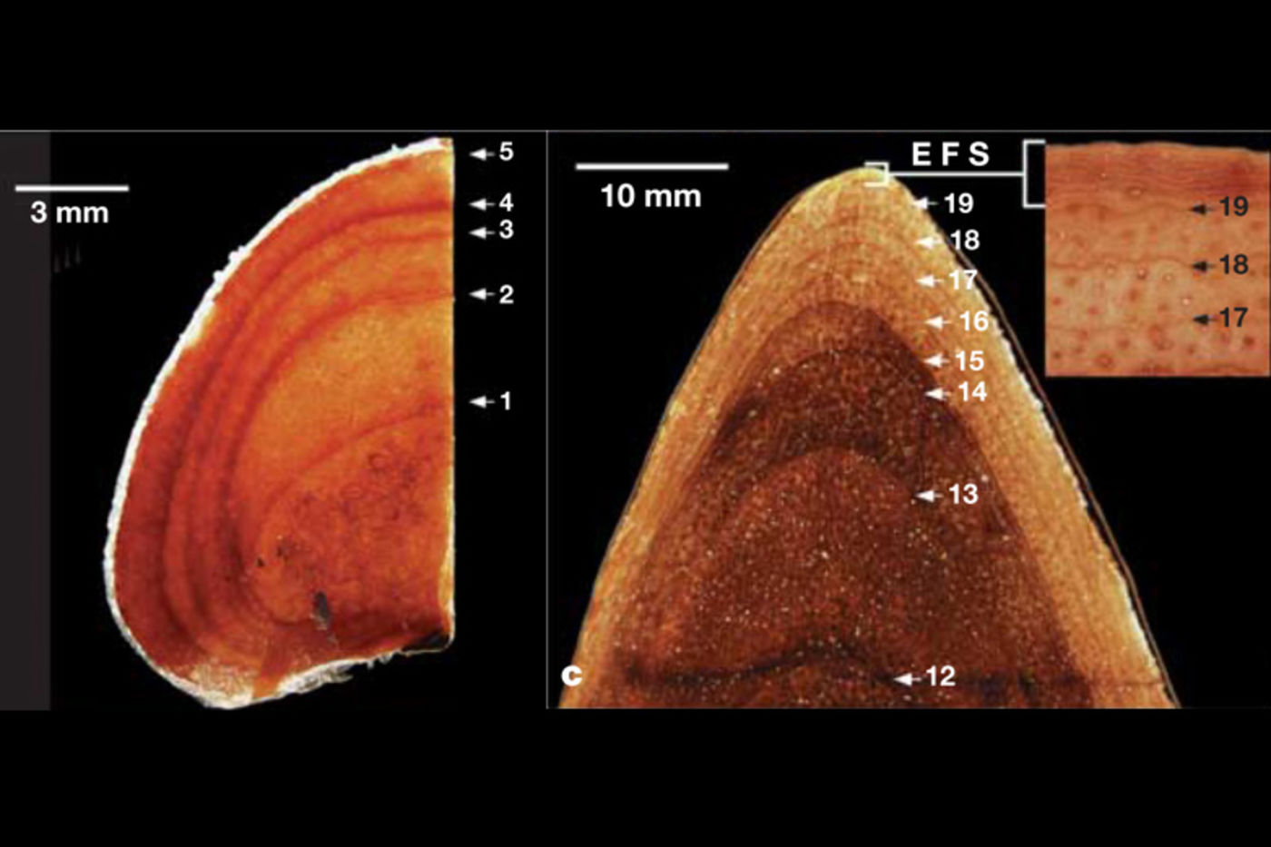 Two side-by-side orange scans showing rings inside dinosaur bones. The scan on the left counts up to 5, and the scan on the right counts up to 19 rings.
