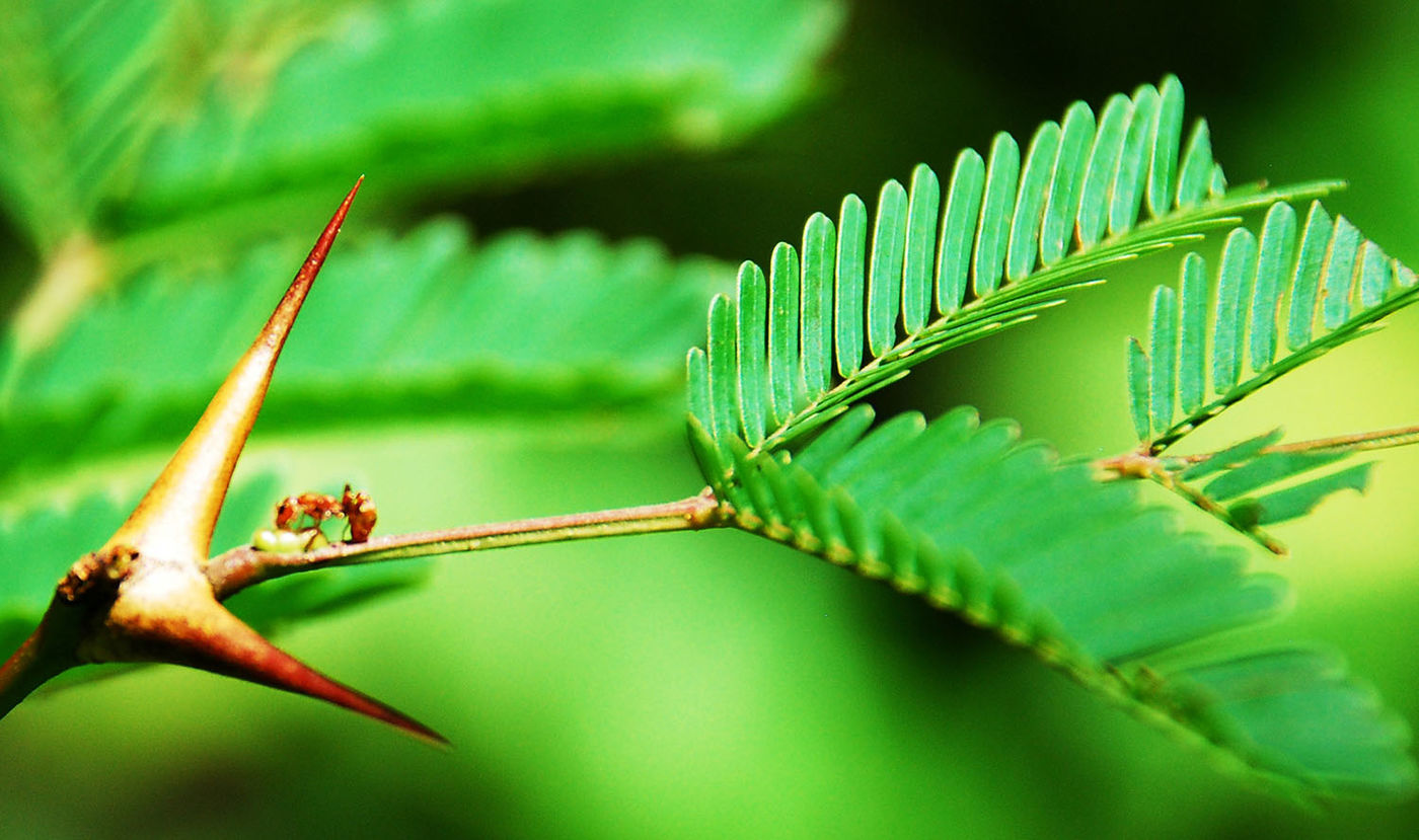 An ant crawls along a plant with large thorns and small, green leaves.