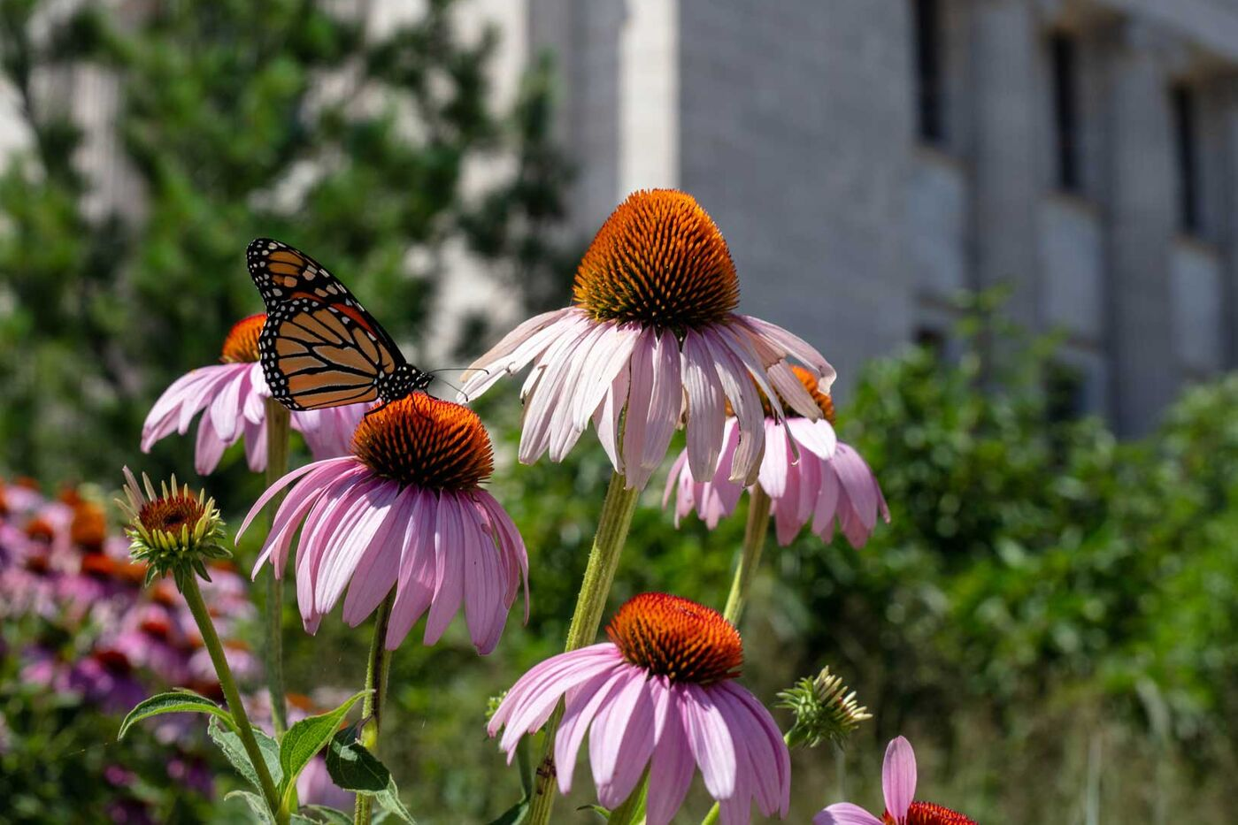 A monarch butterfly sits on a coneflower in front of the Field Museum.