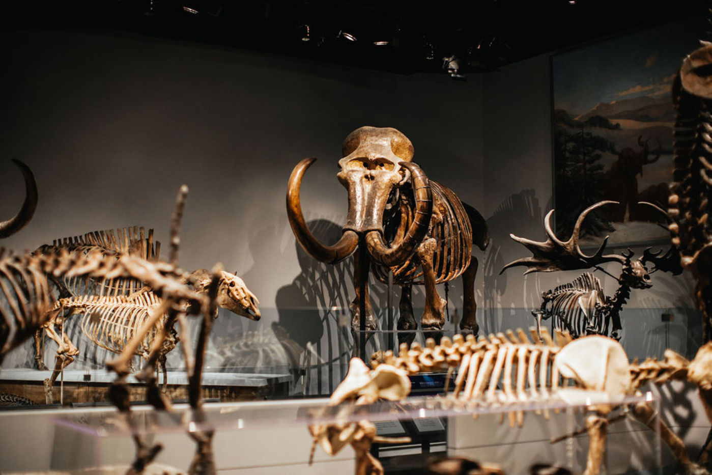 Numerous Ice Age mammal skeletons are mounted for display including a Mammoth and Irish Elk.
