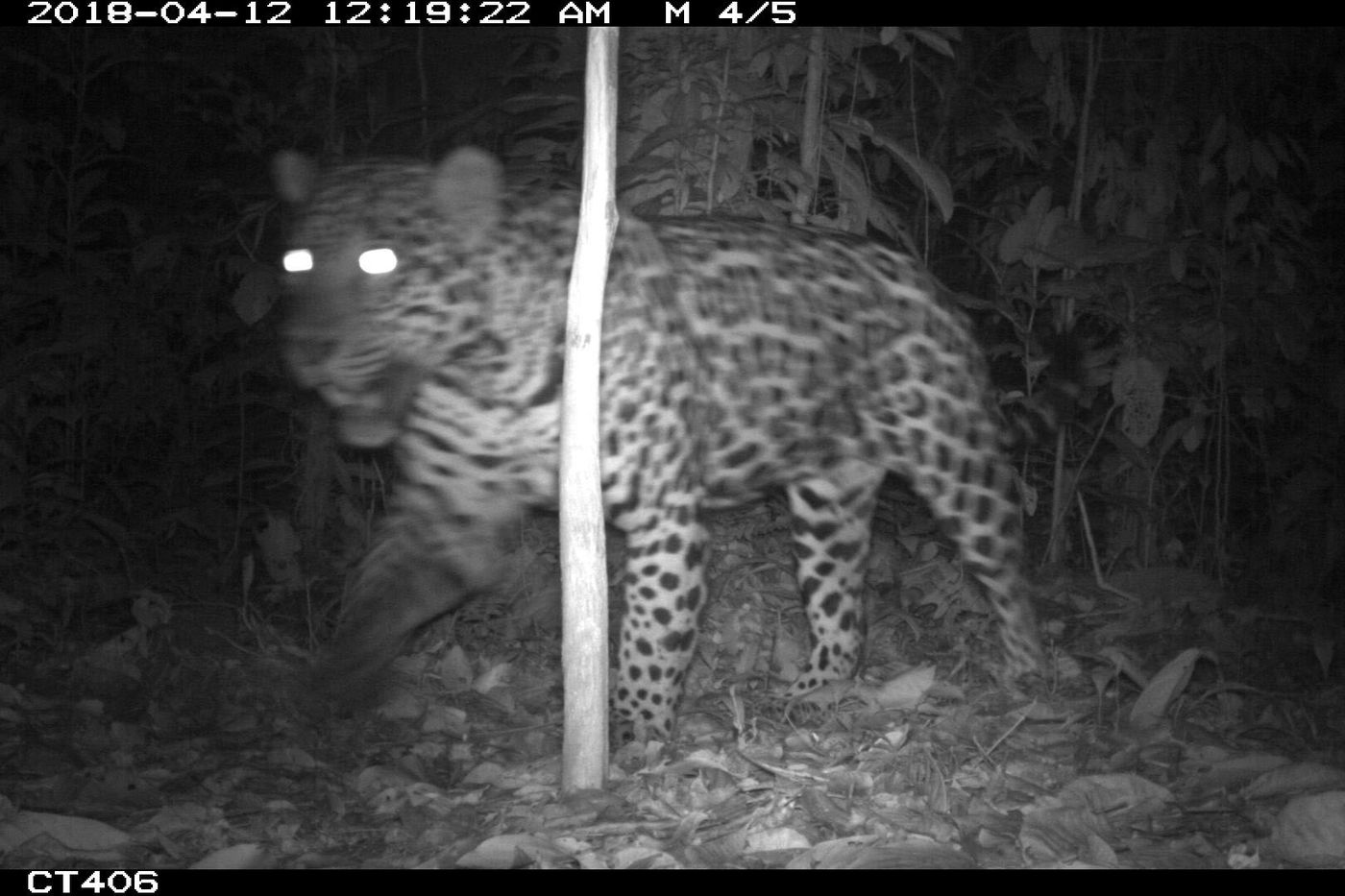 Black-and-white nighttime photo of a jaguar walking in the forest. Its eyes are illuminated by the camera flash.