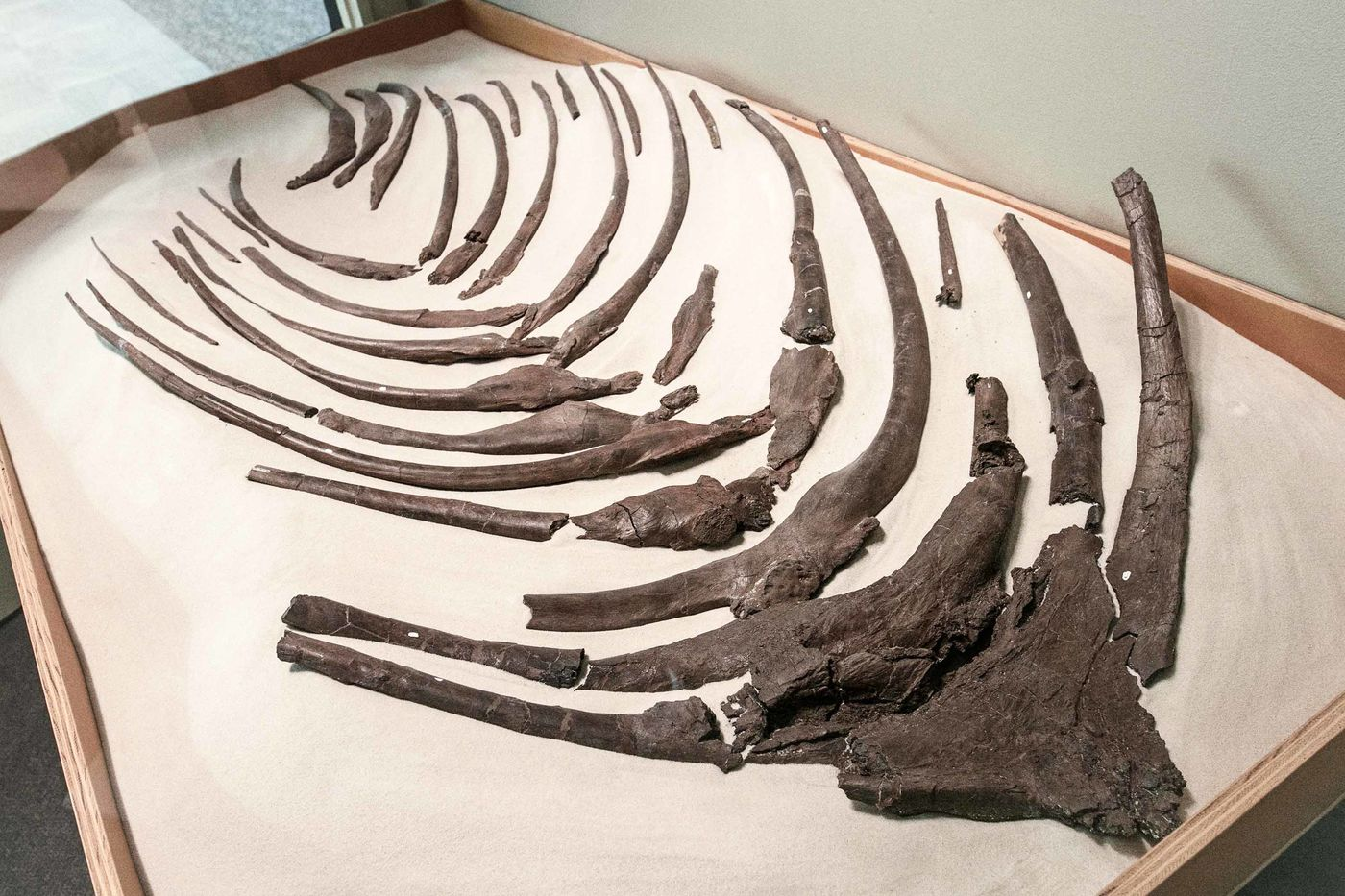 Rows of brown, curved bones that sort of look like ribs on display in a box of sand enclosed in a glass display case.