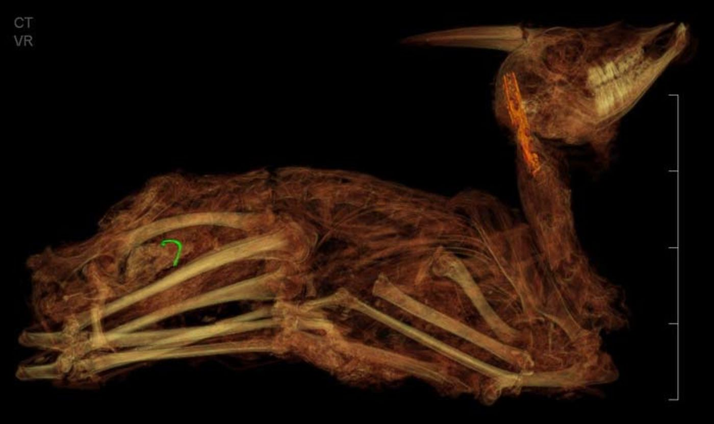 A scan of a seated gazelle, showing its shape and some of its bones, on a black background