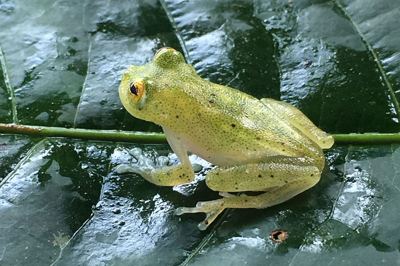 A light green frog sitting on a dark green leaf. The frog's feet are translucent.