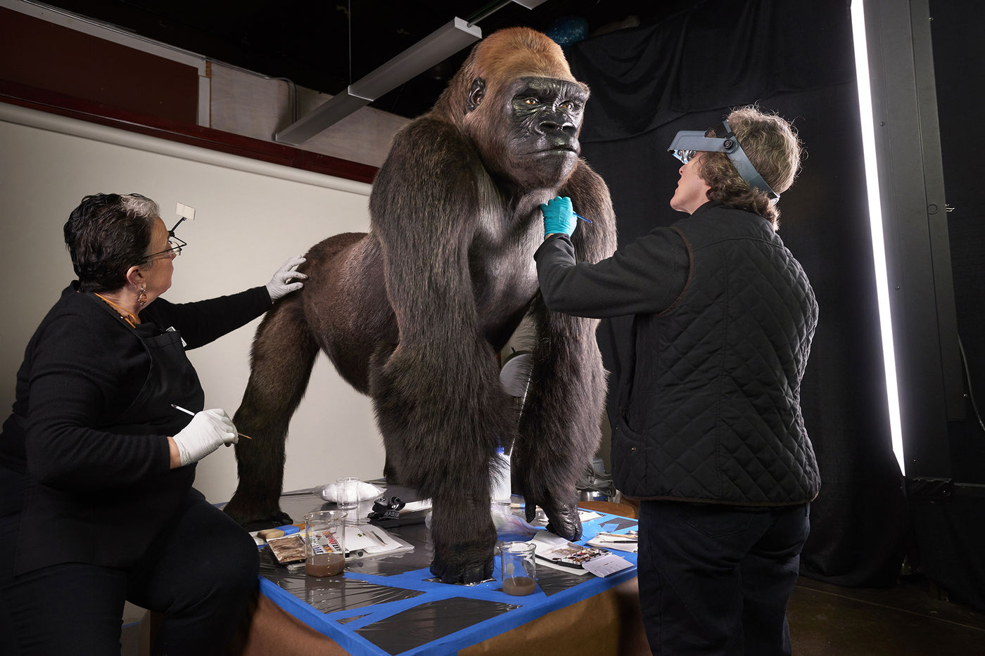 Two women, using magnifying glasses, gloves, and paintbrushes, closely examine and perform conservation treatment on a taxidermied gorilla specimen. The gorilla stands on a platform with a protective covering, and various conservation tools and materials are placed nearby.
