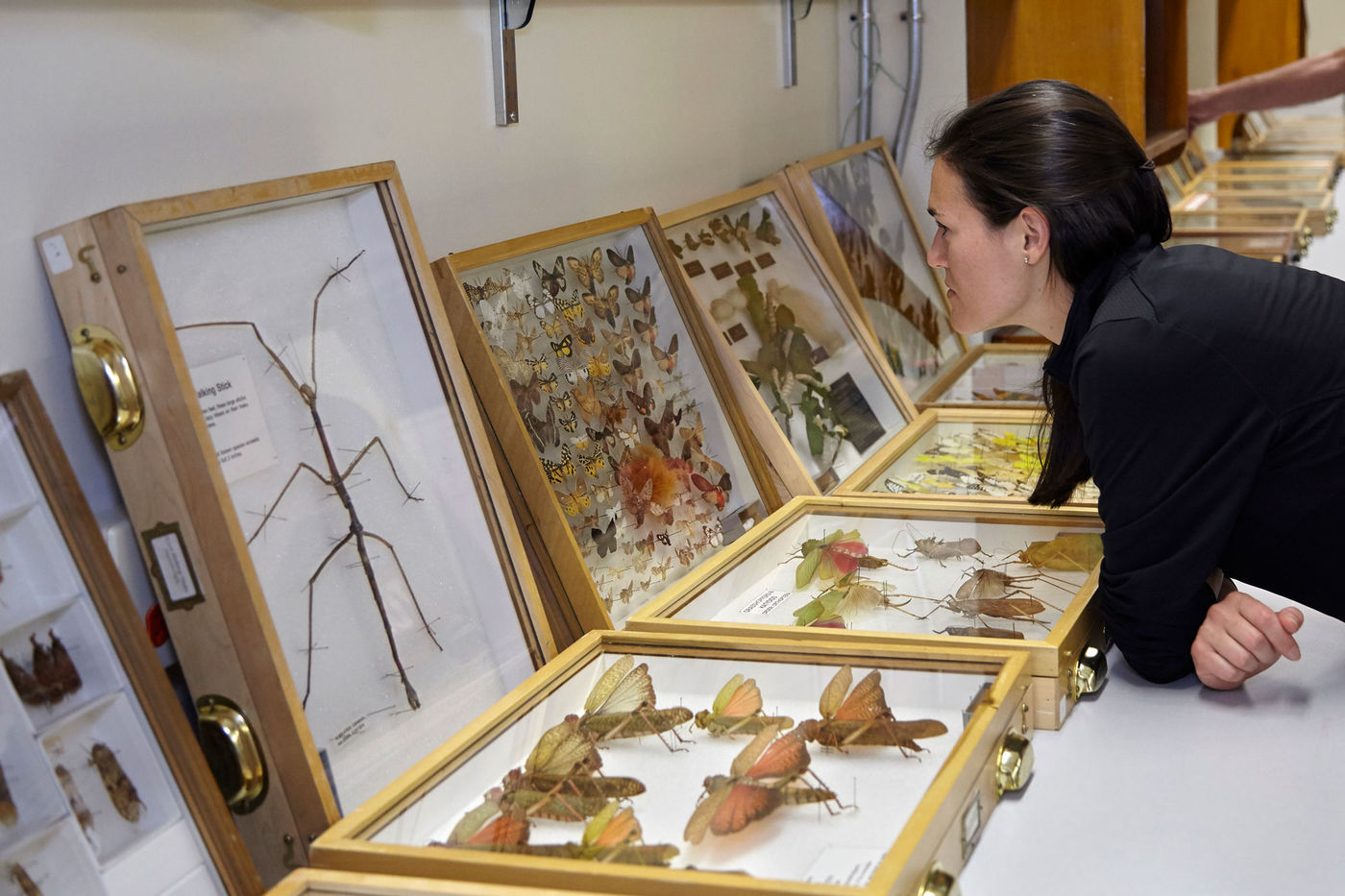 A woman leans down to look at drawers of insect specimens lined up on display.