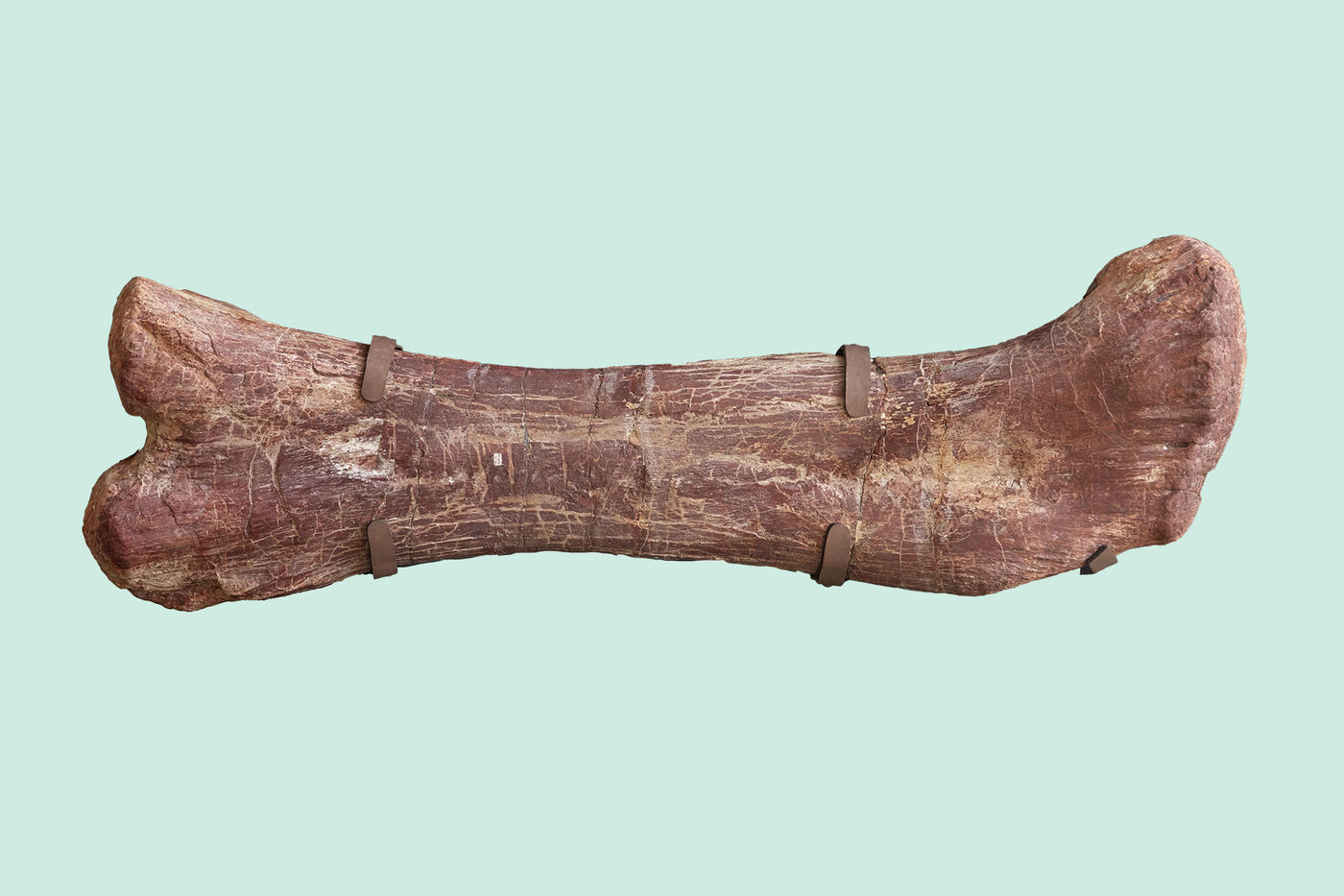 A large, reddish dinosaur bone, with two visible clasps securing it.