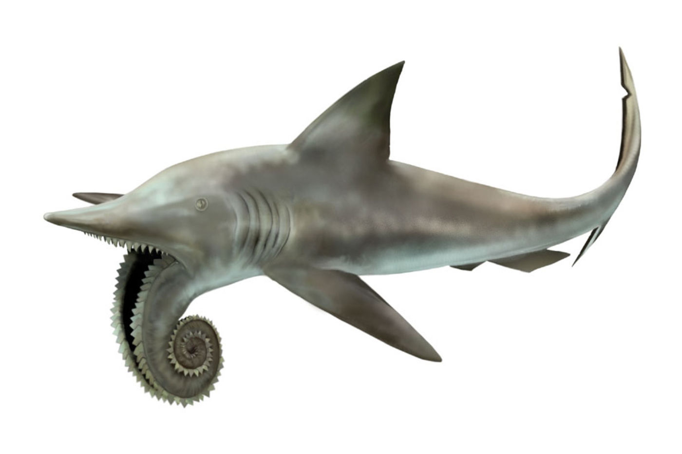 Illustration of a gray shark with a spiraled lower jaw covered in rows of teeth.