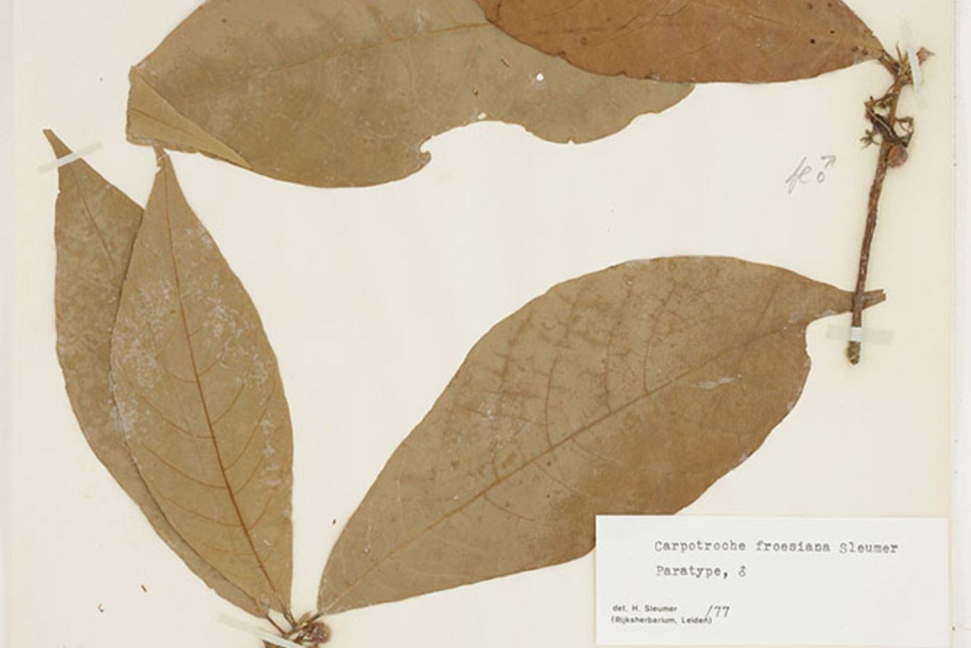 Dried plant specimen with large leaves, fixed to a piece of paper