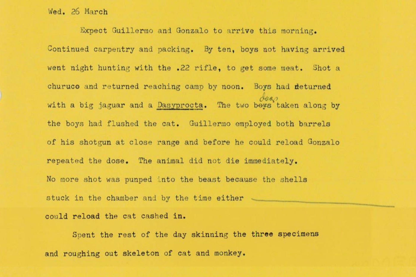 "Hershkovitz's typewritten notes on yellow paper. This entry is dated Wednesday, March 26. He describes two men, Guillermo and Gonzalo, hunting at night with a rifle. They both shoot at a jaguar, described as ""the beast,"" which dies. The entry ends with Hershkovitz skinning the jaguar as well as a monkey and an agouti."