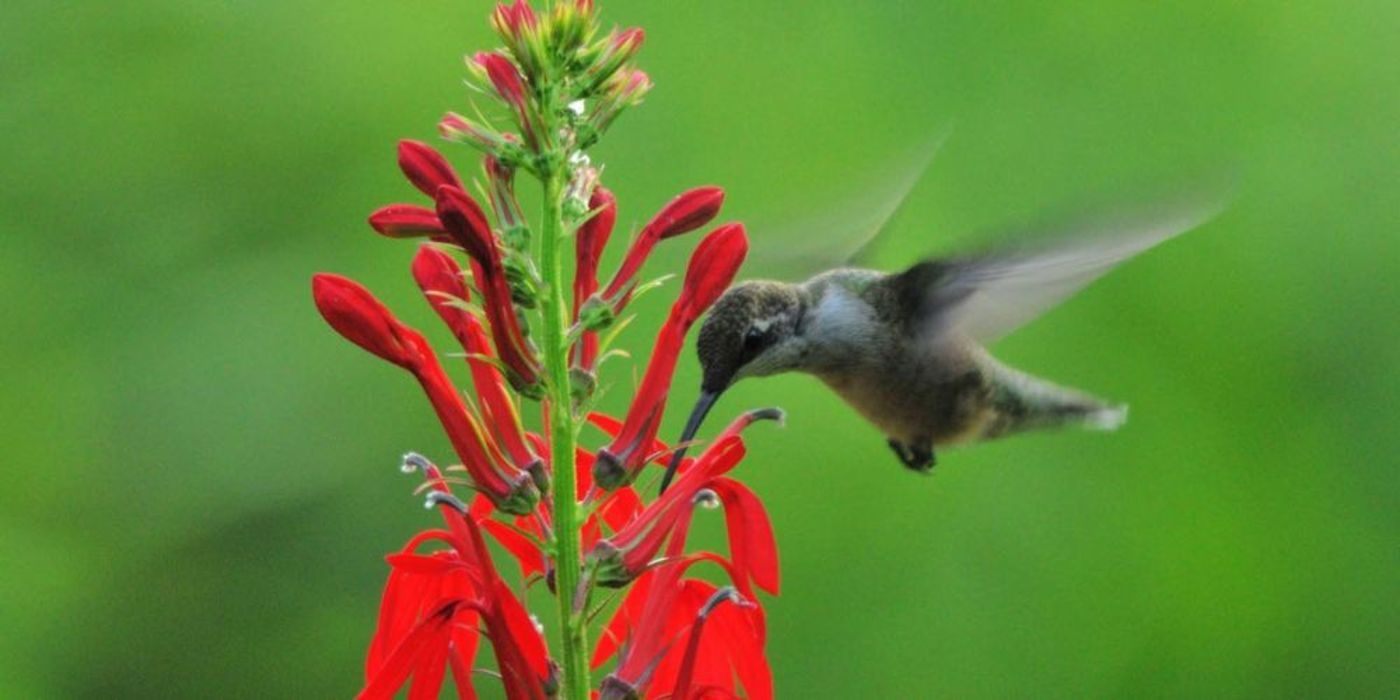 Hummingbird hovering near a plant with red flowers