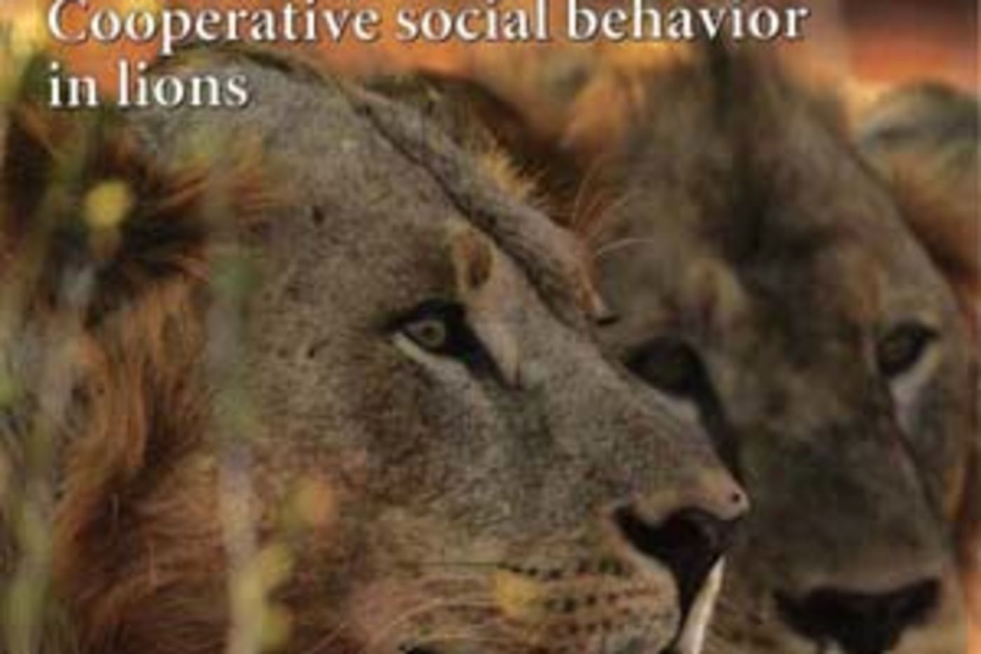 Man-eating Lions Ate Fewer People Than Believed | Field Museum