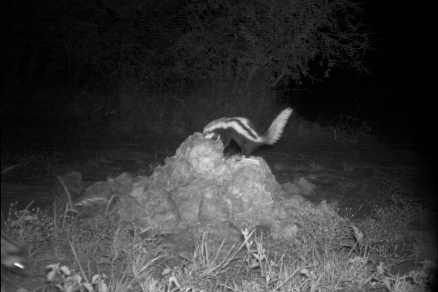 An image of a zorilla digging captured on a wildlife camera